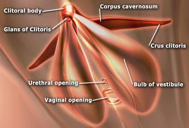 kintir Clitoris_anatomy