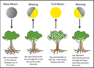 lunar cycle and plant sap cycle