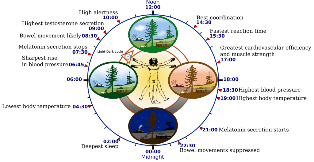 circadian clock in humans